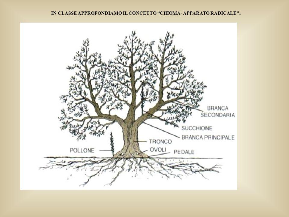 La raccolta delle olive a Venafro-Periodo inizio novecento