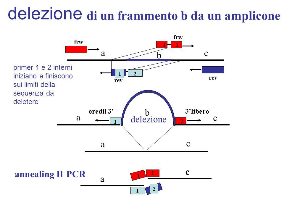 di un frammento b da un amplicone 1 1 2 frw rev a b c delezione a b a c 1 2 c 3'liberooredil 3' 2 1 2 2 2 1 c a annealing II PCR delezione primer 1 e 2 interni iniziano e finiscono sui limiti della sequenza da deletere