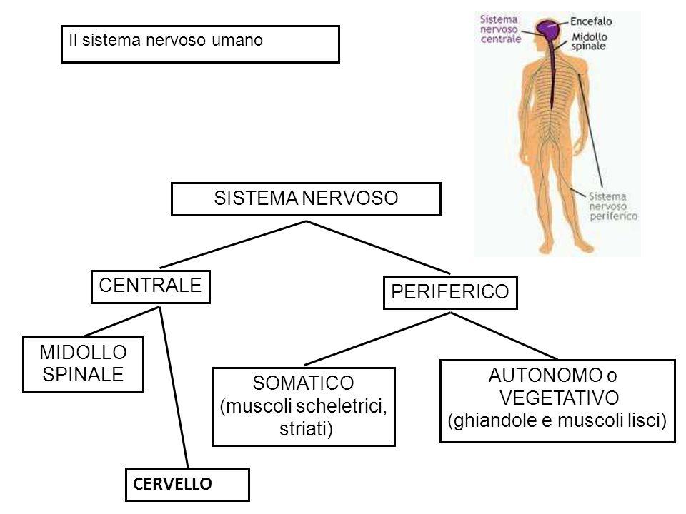 SISTEMA NERVOSO CENTRALE PERIFERICO SOMATICO (muscoli scheletrici, striati) AUTONOMO o VEGETATIVO (ghiandole e muscoli lisci) MIDOLLO SPINALE CERVELLO