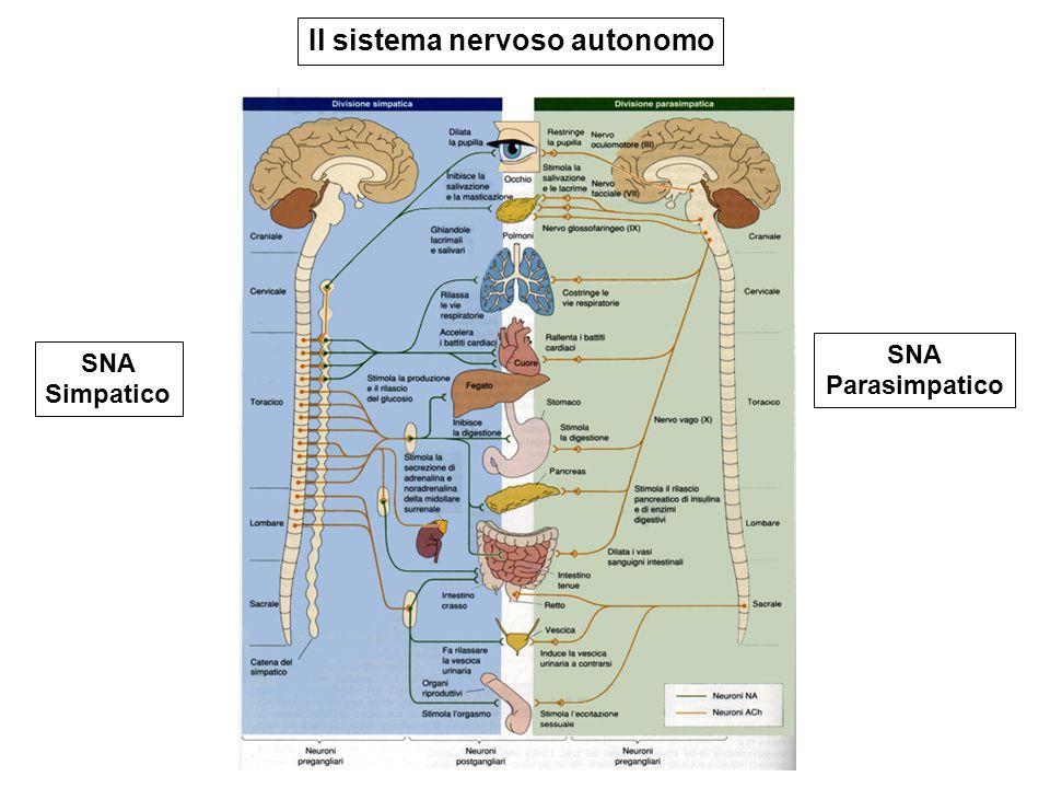 SNA Simpatico SNA Parasimpatico Il sistema nervoso autonomo