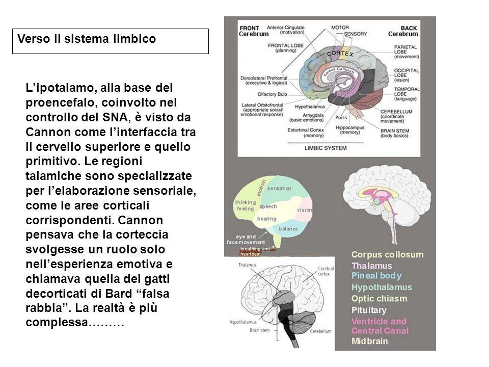 Verso il sistema limbico L'ipotalamo, alla base del proencefalo, coinvolto nel controllo del SNA, è visto da Cannon come l'interfaccia tra il cervello