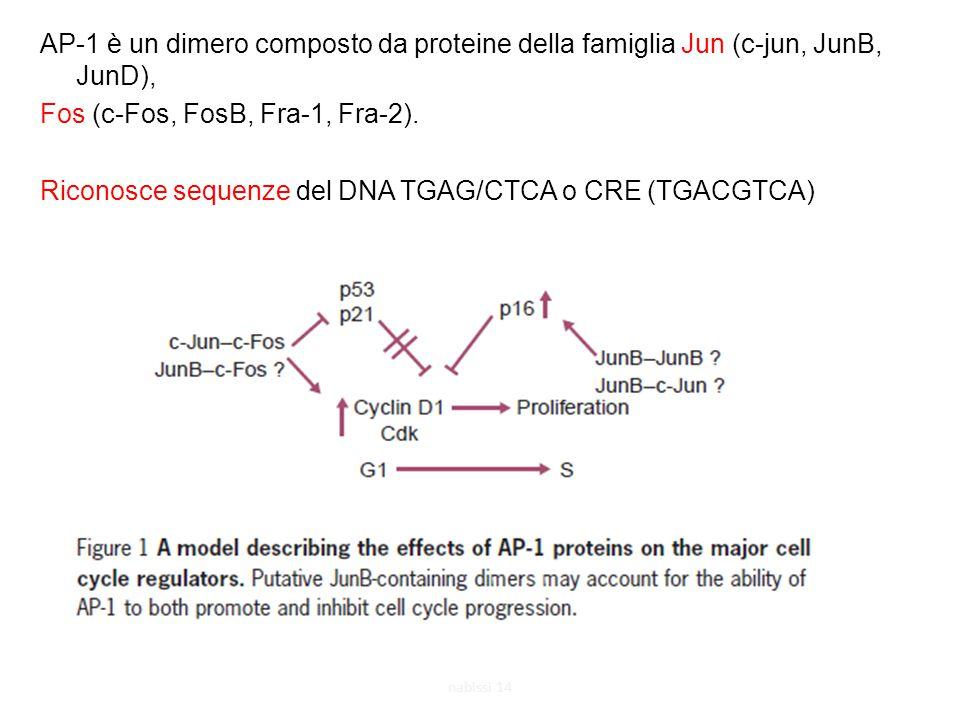 AP-1 è un dimero composto da proteine della famiglia Jun (c-jun, JunB, JunD), Fos (c-Fos, FosB, Fra-1, Fra-2).