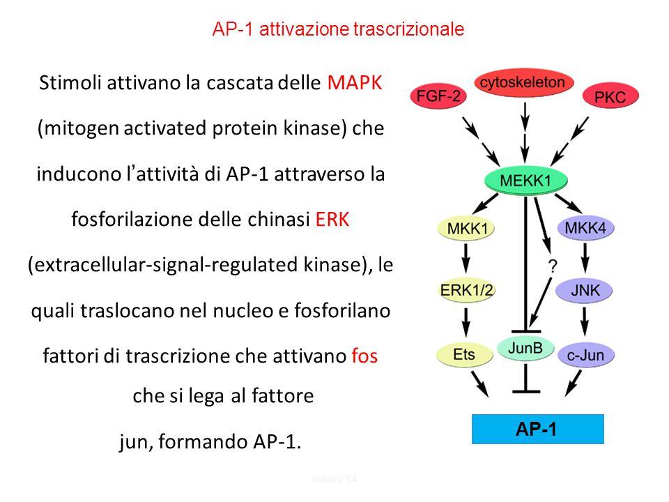Stimoli attivano la cascata delle MAPK (mitogen activated protein kinase) che inducono l'attività di AP-1 attraverso la fosforilazione delle chinasi ERK (extracellular-signal-regulated kinase), le quali traslocano nel nucleo e fosforilano fattori di trascrizione che attivano fos che si lega al fattore jun, formando AP-1.