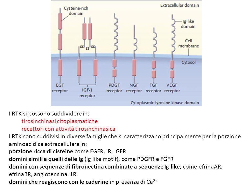 I RTK si possono suddividere in: tirosinchinasi citoplasmatiche recettori con attività tirosinchinasica I RTK sono suddivisi in diverse famiglie che si caratterizzano principalmente per la porzione aminoacidica extracellulare in: porzione ricca di cisteine come EGFR, IR, IGFR domini simili a quelli delle Ig (Ig like motif), come PDGFR e FGFR domini con sequenze di fibronectina combinate a sequenze Ig-like, come efrinaAR, efrinaBR, angiotensina.1R domini che reagiscono con le caderine in presenza di Ca 2+ nabissi 14