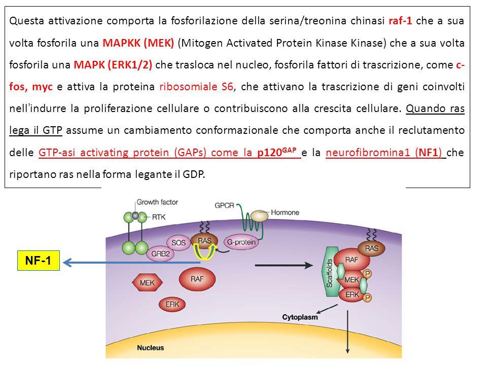 Questa attivazione comporta la fosforilazione della serina/treonina chinasi raf-1 che a sua volta fosforila una MAPKK (MEK) (Mitogen Activated Protein Kinase Kinase) che a sua volta fosforila una MAPK (ERK1/2) che trasloca nel nucleo, fosforila fattori di trascrizione, come c- fos, myc e attiva la proteina ribosomiale S6, che attivano la trascrizione di geni coinvolti nell'indurre la proliferazione cellulare o contribuiscono alla crescita cellulare.