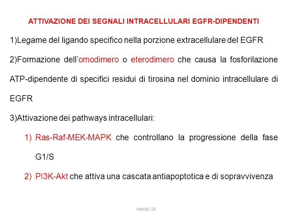 ATTIVAZIONE DEI SEGNALI INTRACELLULARI EGFR-DIPENDENTI 1)Legame del ligando specifico nella porzione extracellulare del EGFR 2)Formazione dell'omodimero o eterodimero che causa la fosforilazione ATP-dipendente di specifici residui di tirosina nel dominio intracellulare di EGFR 3)Attivazione dei pathways intracellulari: 1)Ras-Raf-MEK-MAPK che controllano la progressione della fase G1/S 2)PI3K-Akt che attiva una cascata antiapoptotica e di sopravvivenza nabissi 14