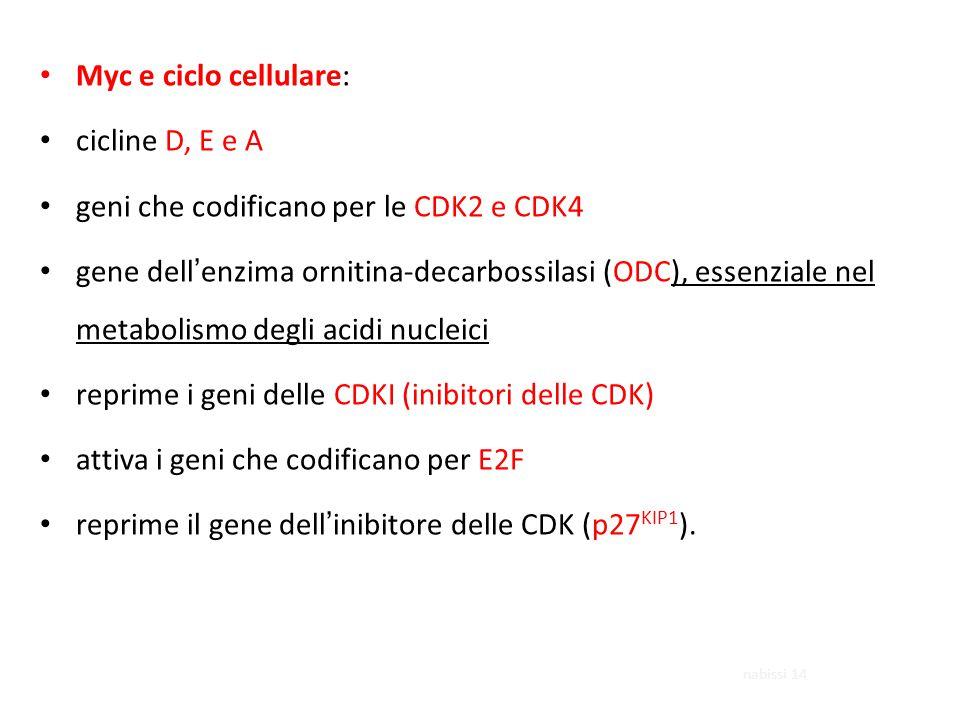 Myc e ciclo cellulare: cicline D, E e A geni che codificano per le CDK2 e CDK4 gene dell'enzima ornitina-decarbossilasi (ODC), essenziale nel metabolismo degli acidi nucleici reprime i geni delle CDKI (inibitori delle CDK) attiva i geni che codificano per E2F reprime il gene dell'inibitore delle CDK (p27 KIP1 ).