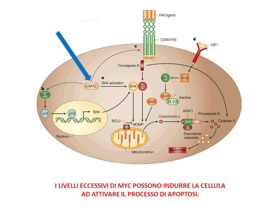 I LIVELLI ECCESSIVI DI MYC POSSONO INDURRE LA CELLULA AD ATTIVARE IL PROCESSO DI APOPTOSI.