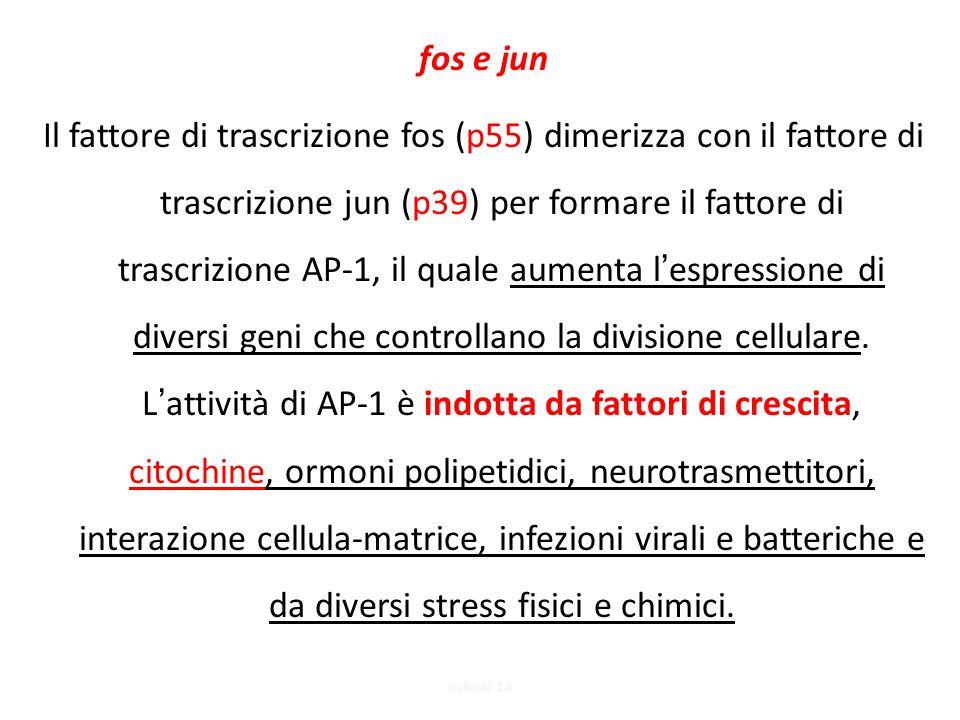 fos e jun Il fattore di trascrizione fos (p55) dimerizza con il fattore di trascrizione jun (p39) per formare il fattore di trascrizione AP-1, il quale aumenta l'espressione di diversi geni che controllano la divisione cellulare.