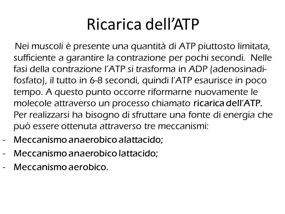 Ricarica dell'ATP Nei muscoli è presente una quantità di ATP piuttosto limitata, sufficiente a garantire la contrazione per pochi secondi. Nelle fasi