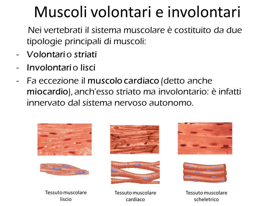 Nei vertebrati il sistema muscolare è costituito da due tipologie principali di muscoli: -Volontari o striati -Involontari o lisci -Fa eccezione il mu