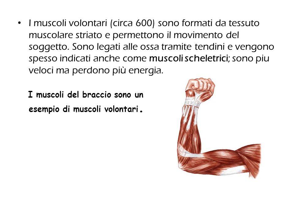 I muscoli volontari (circa 600) sono formati da tessuto muscolare striato e permettono il movimento del soggetto. Sono legati alle ossa tramite tendin