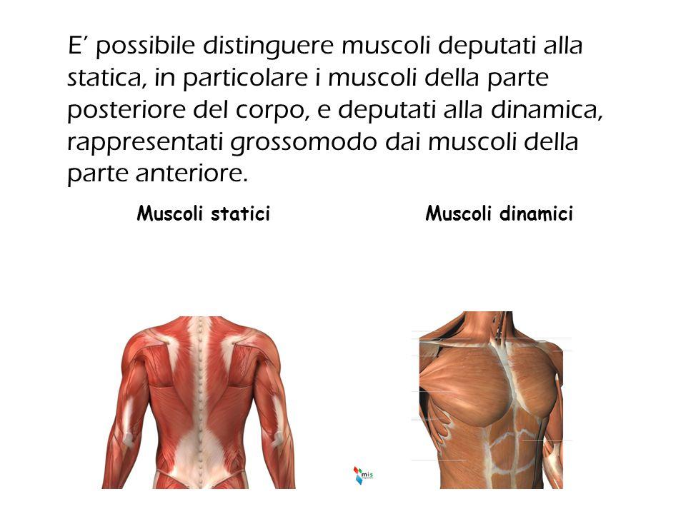 E' possibile distinguere muscoli deputati alla statica, in particolare i muscoli della parte posteriore del corpo, e deputati alla dinamica, rappresen