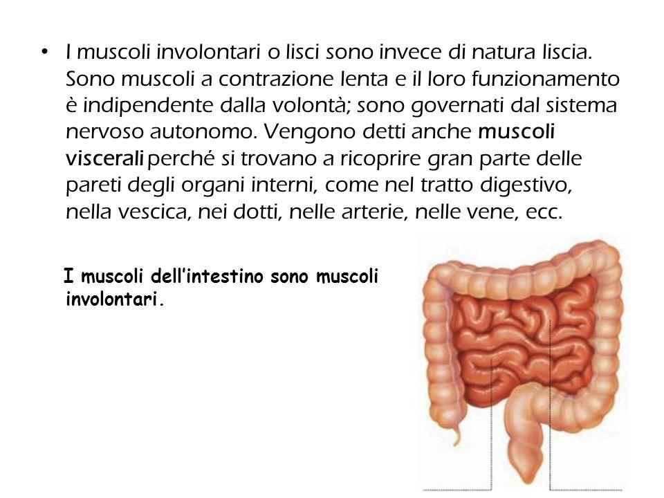 I muscoli involontari o lisci sono invece di natura liscia. Sono muscoli a contrazione lenta e il loro funzionamento è indipendente dalla volontà; son