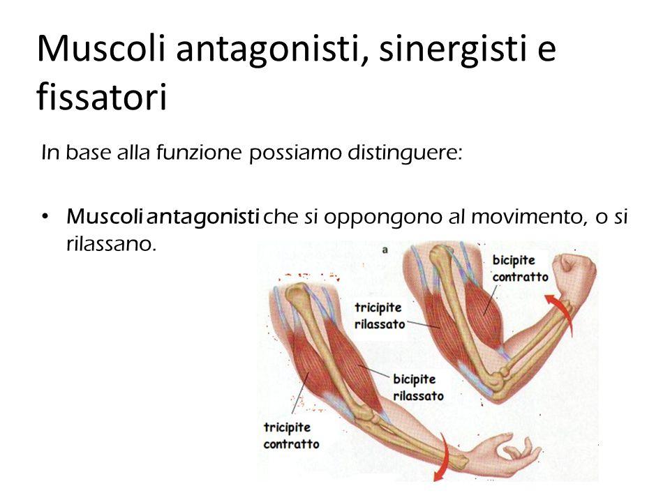 In base alla funzione possiamo distinguere: Muscoli antagonisti che si oppongono al movimento, o si rilassano. Muscoli antagonisti, sinergisti e fissa