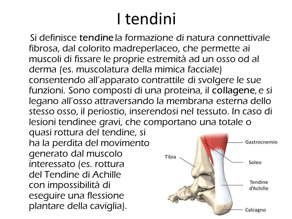 I tendini Si definisce tendine la formazione di natura connettivale fibrosa, dal colorito madreperlaceo, che permette ai muscoli di fissare le proprie