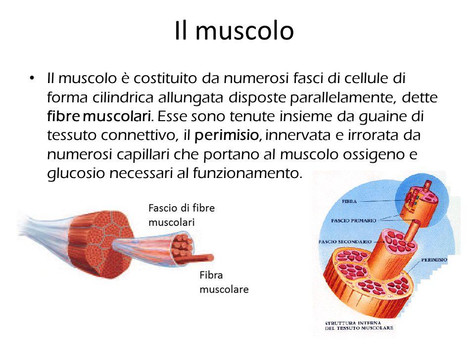 Il muscolo Il muscolo è costituito da numerosi fasci di cellule di forma cilindrica allungata disposte parallelamente, dette fibre muscolari. Esse son