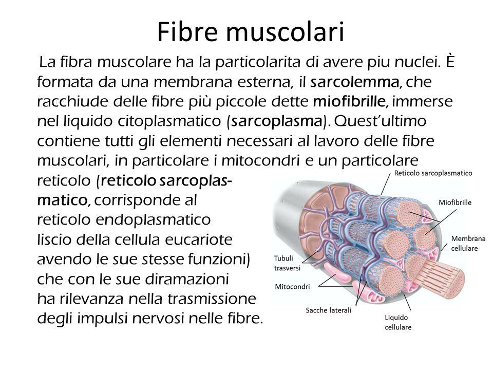 Fibre muscolari La fibra muscolare ha la particolarita di avere piu nuclei. È formata da una membrana esterna, il sarcolemma, che racchiude delle fibr