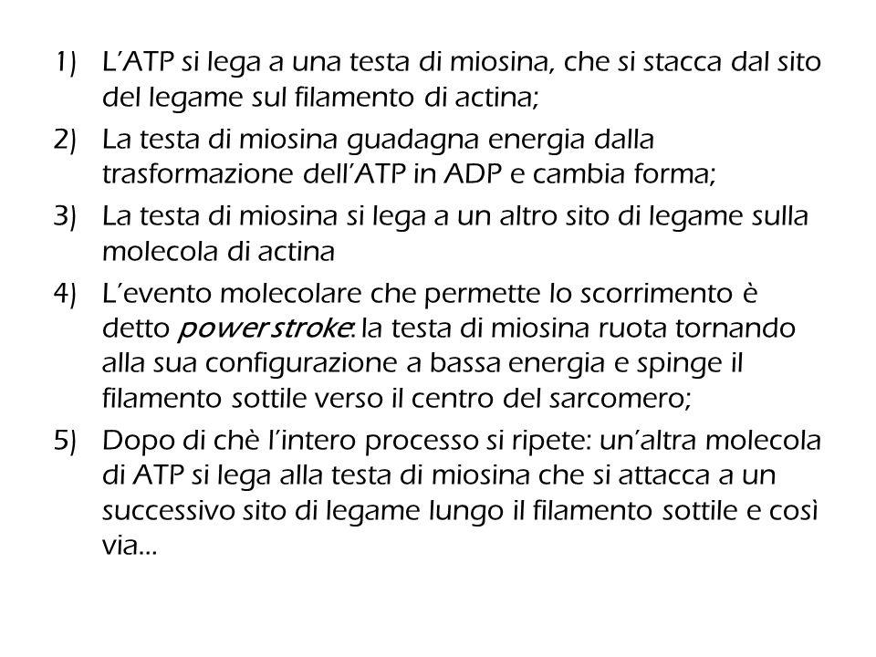 1)L'ATP si lega a una testa di miosina, che si stacca dal sito del legame sul filamento di actina; 2)La testa di miosina guadagna energia dalla trasfo