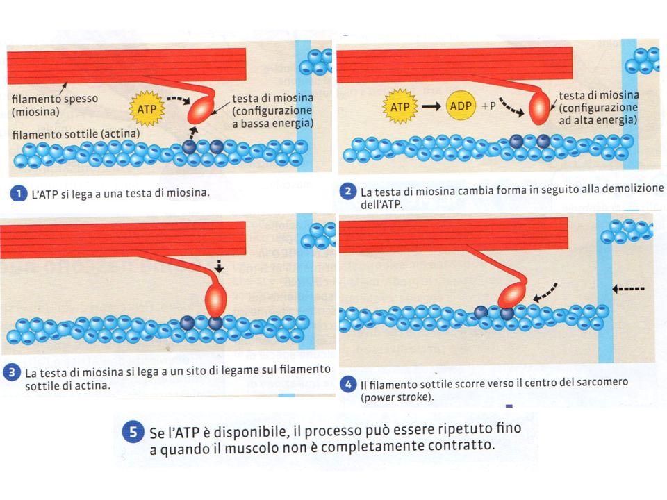 Controllo della contrazione e neuroni motori La contrazione muscolare non è un fenomeno spontaneo ma ha bisogno di segnali emessi dal sistema nervoso centrale e trasportati dai neuroni motori.