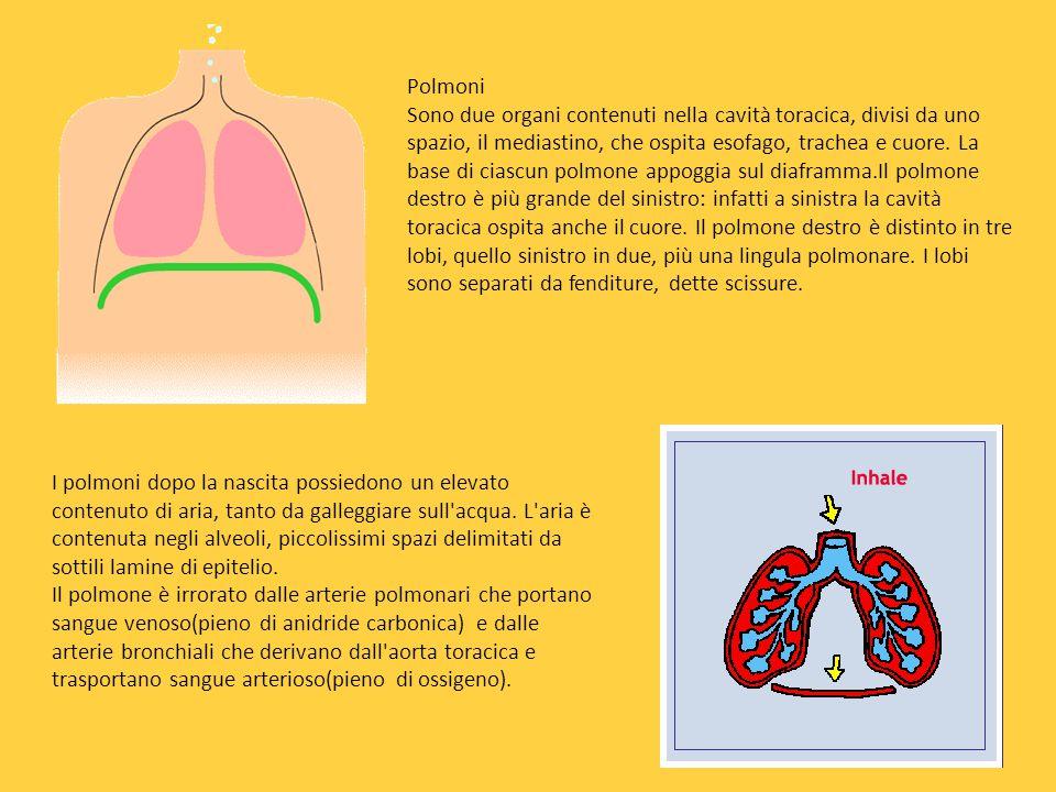 L'apparato respiratorio È formato dalle vie respiratorie e dai polmoni. Le vie respiratorie sono formate da cavità nasali, dalla faringe, dalla laring