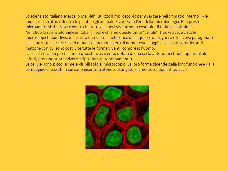 Lo scienziato italiano Marcello Malpighi utilizzò il microscopio per guardare nello spazio interno - le minuscole strutture dentro le piante e gli animali.