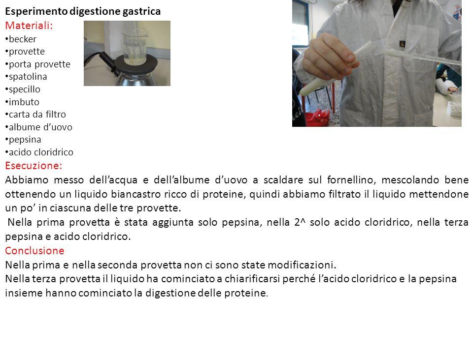 Esperimento digestione gastrica Materiali: becker provette porta provette spatolina specillo imbuto carta da filtro albume d'uovo pepsina acido clorid