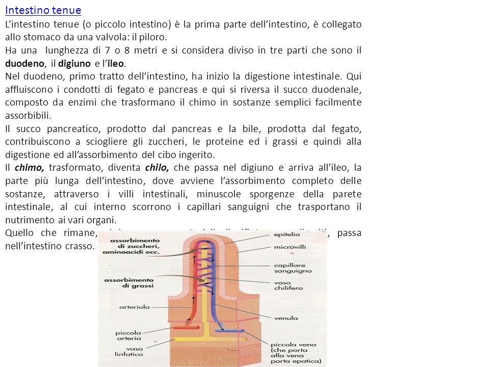 Intestino tenue L'intestino tenue (o piccolo intestino) è la prima parte dell'intestino, è collegato allo stomaco da una valvola: il piloro. Ha una lu