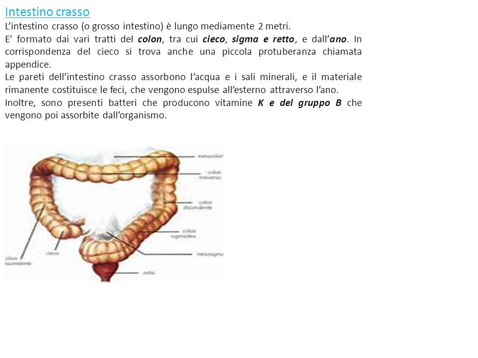 Intestino crasso L'intestino crasso (o grosso intestino) è lungo mediamente 2 metri. E' formato dai vari tratti del colon, tra cui cieco, sigma e rett