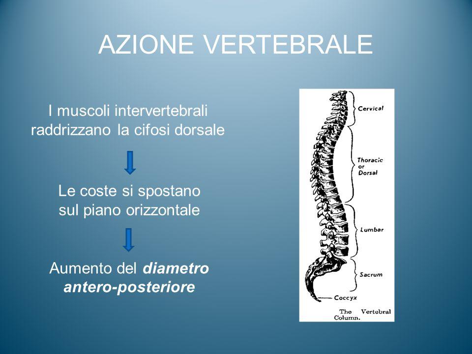 AZIONE VERTEBRALE I muscoli intervertebrali raddrizzano la cifosi dorsale Le coste si spostano sul piano orizzontale Aumento del diametro antero-poste