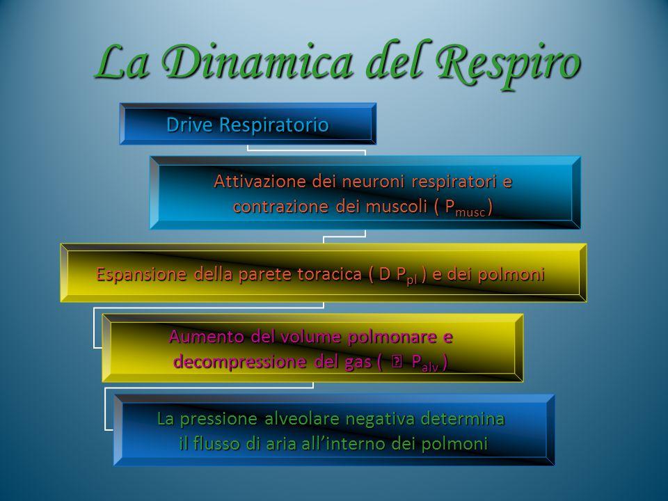 La Dinamica del Respiro Palv = 0 Rilascio diaframma Le forze di richiamo elastico comprimono i gas intrapolmonari : Palv  I gas fuoriescono dai polmoni La pressione alveolare si riduce sino a zero ( Fine ESPIRAZIONE )