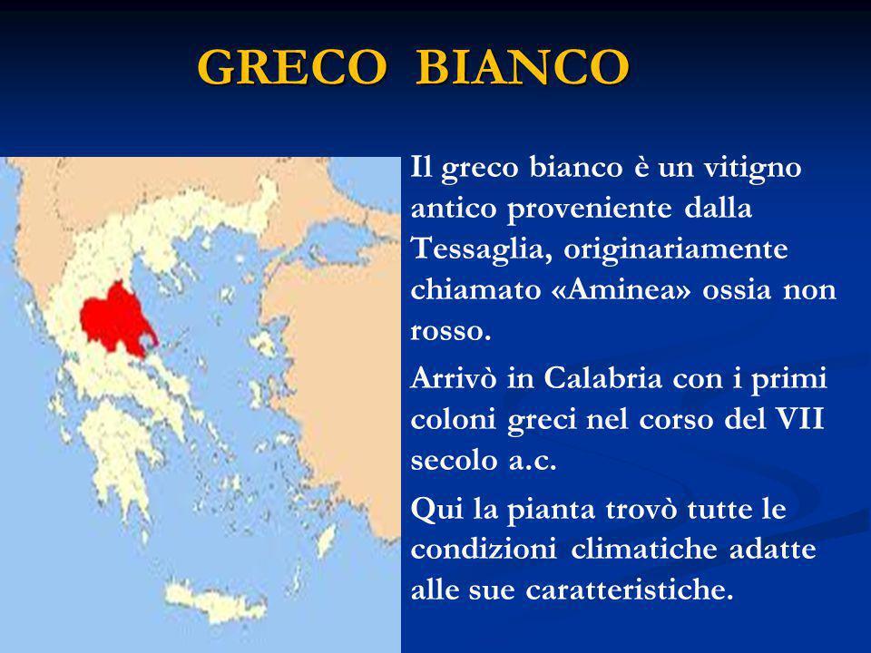 GRECO BIANCO Il greco bianco è un vitigno antico proveniente dalla Tessaglia, originariamente chiamato «Aminea» ossia non rosso.