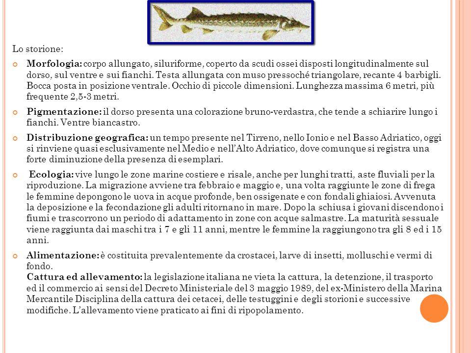 Alcune doverose notizie sullo storione Gli storioni appartengono alla famiglia degli Acipenseridi, che attualmente comprendono 23 specie distribuite p