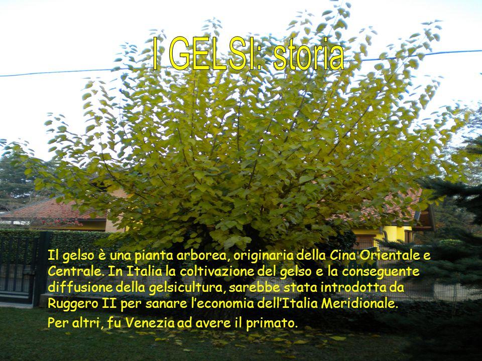 Il gelso è una pianta arborea, originaria della Cina Orientale e Centrale. In Italia la coltivazione del gelso e la conseguente diffusione della gelsi