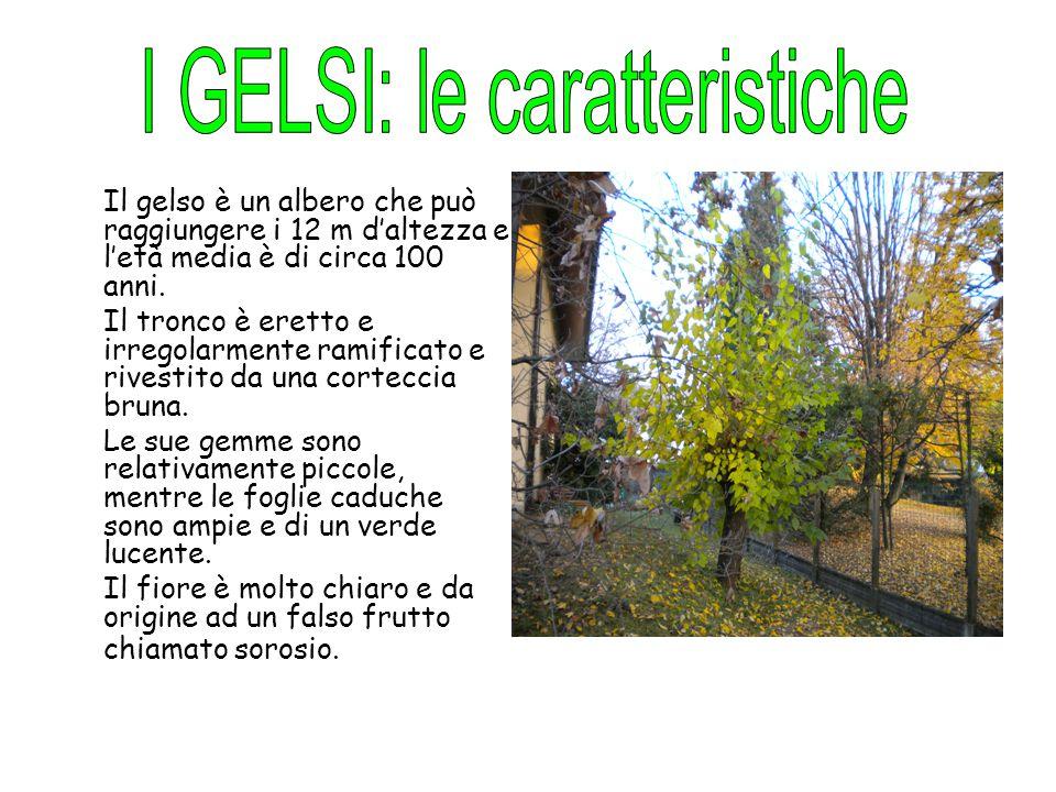 Il gelso è un albero che può raggiungere i 12 m d'altezza e l'età media è di circa 100 anni. Il tronco è eretto e irregolarmente ramificato e rivestit