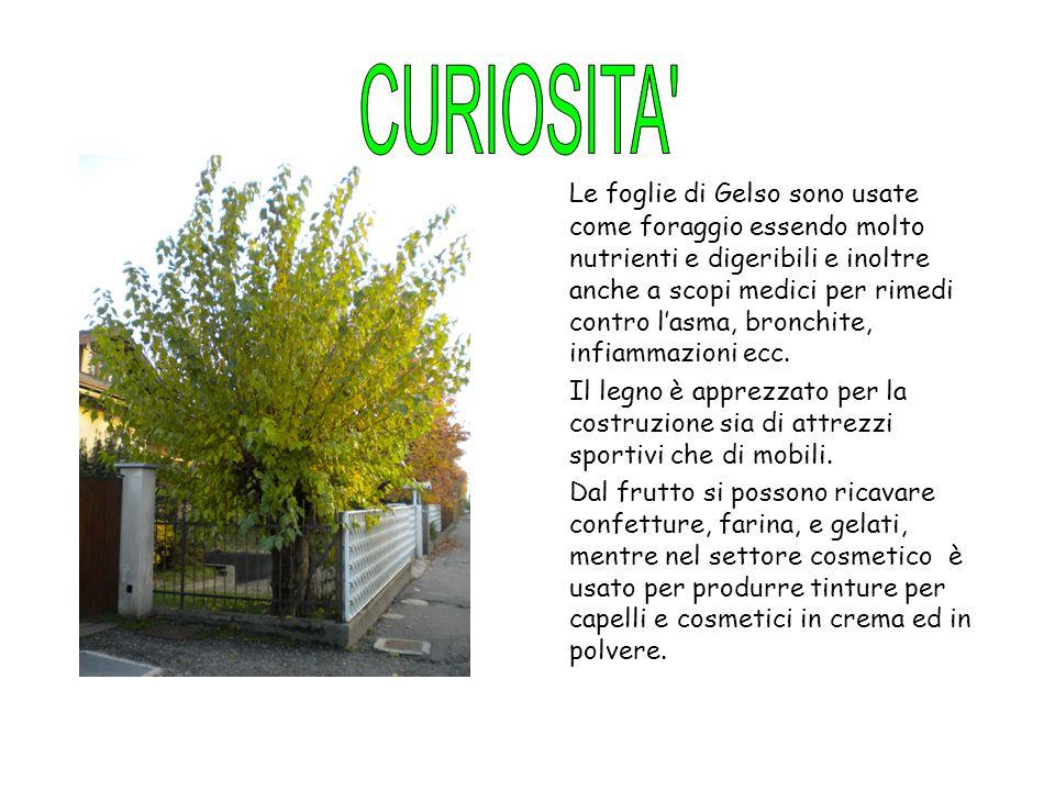 Le foglie di Gelso sono usate come foraggio essendo molto nutrienti e digeribili e inoltre anche a scopi medici per rimedi contro l'asma, bronchite, i