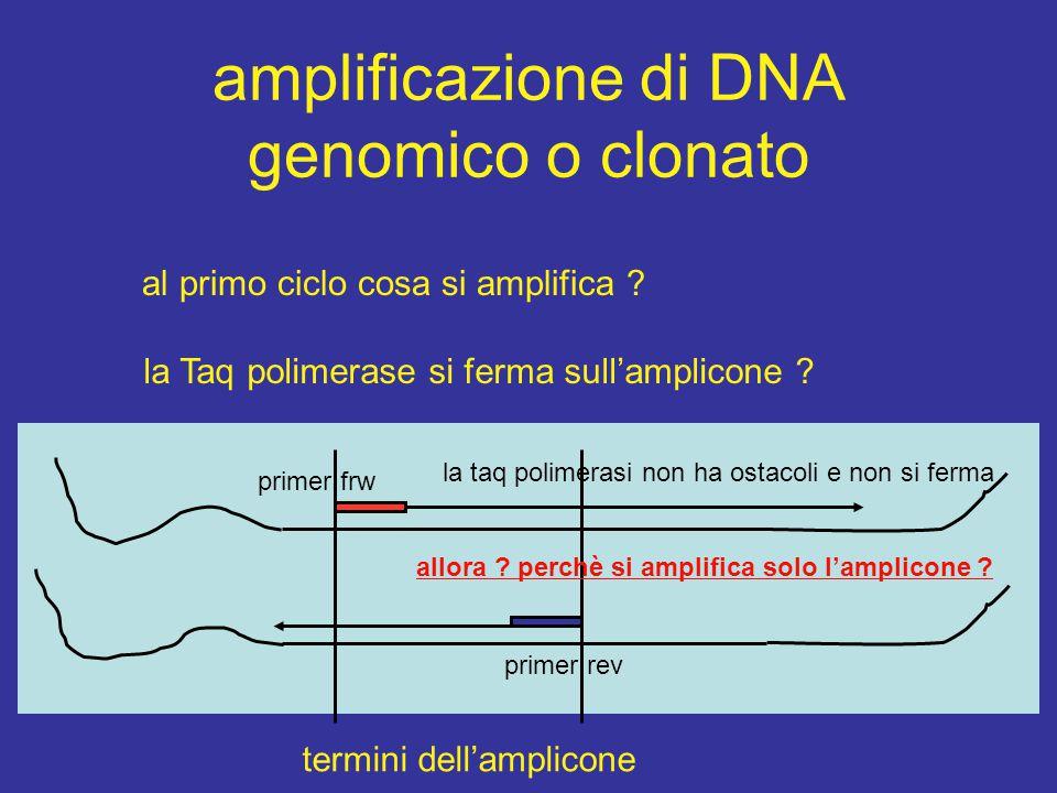 amplificazione di DNA genomico o clonato al primo ciclo cosa si amplifica ? la Taq polimerase si ferma sull'amplicone ? termini dell'amplicone primer