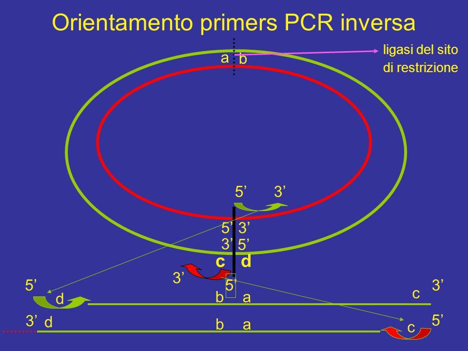 Orientamento primers PCR inversa 5' 3' 5' 3' c d d c c d 5'3' 5' 3' 5' a b ba ab ligasi del sito di restrizione