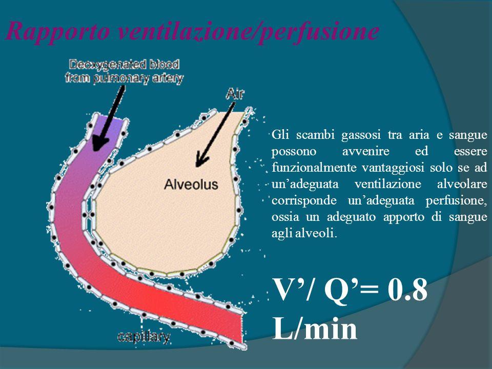 Rapporto ventilazione/perfusione Gli scambi gassosi tra aria e sangue possono avvenire ed essere funzionalmente vantaggiosi solo se ad un'adeguata ven