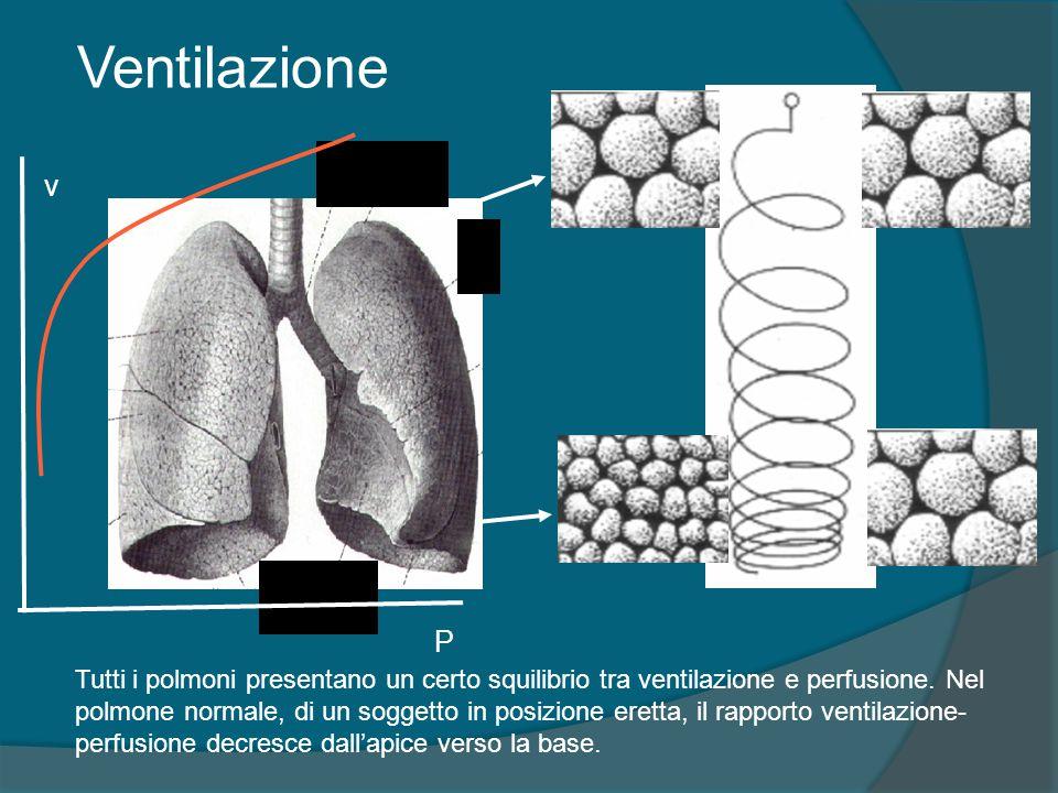 P v Tutti i polmoni presentano un certo squilibrio tra ventilazione e perfusione. Nel polmone normale, di un soggetto in posizione eretta, il rapporto