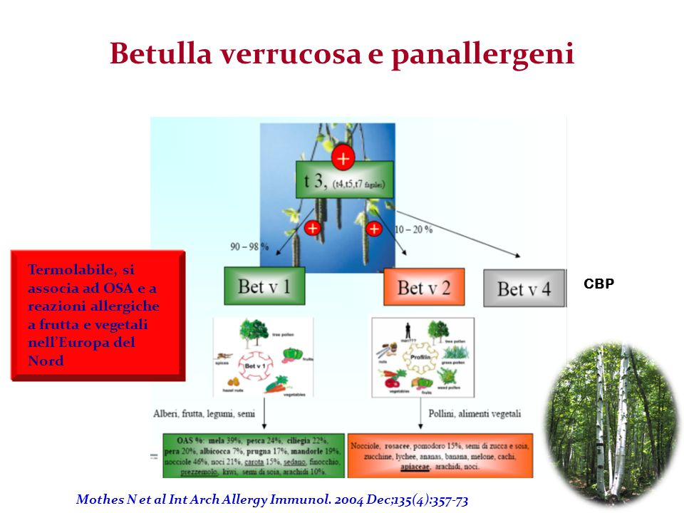 Betulla verrucosa e panallergeni CBP Mothes N et al Int Arch Allergy Immunol. 2004 Dec;135(4):357-73 Termolabile, si associa ad OSA e a reazioni aller