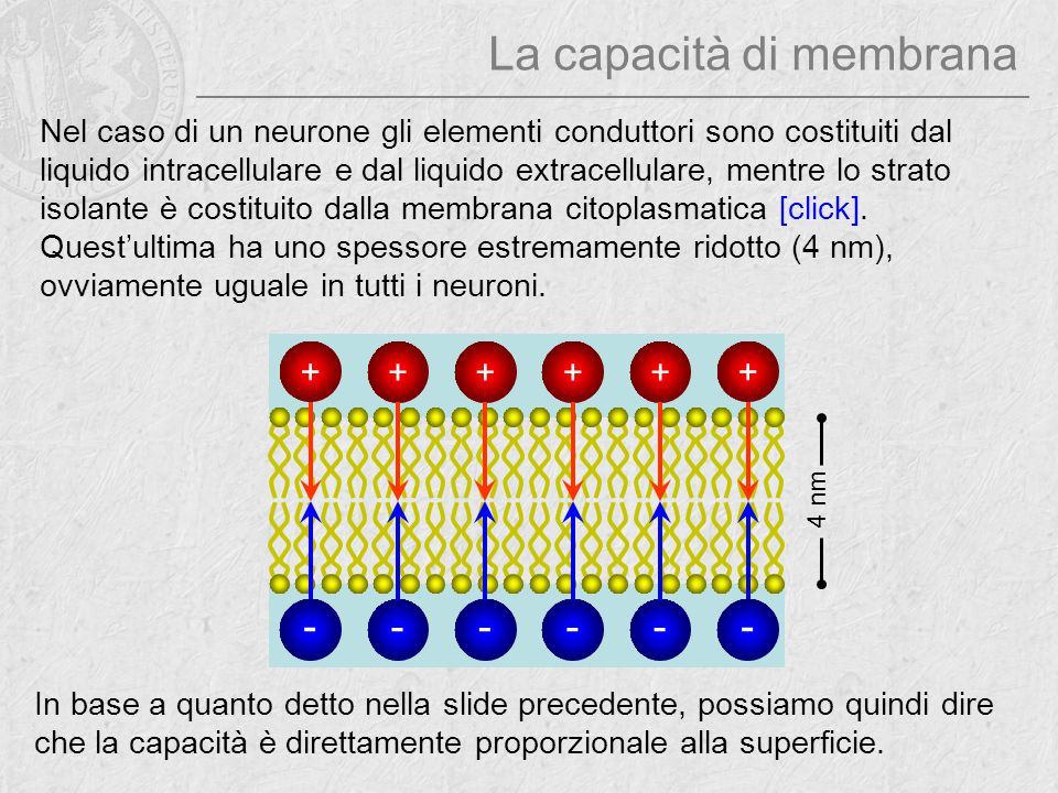 La capacità di membrana Nel caso di un neurone gli elementi conduttori sono costituiti dal liquido intracellulare e dal liquido extracellulare, mentre
