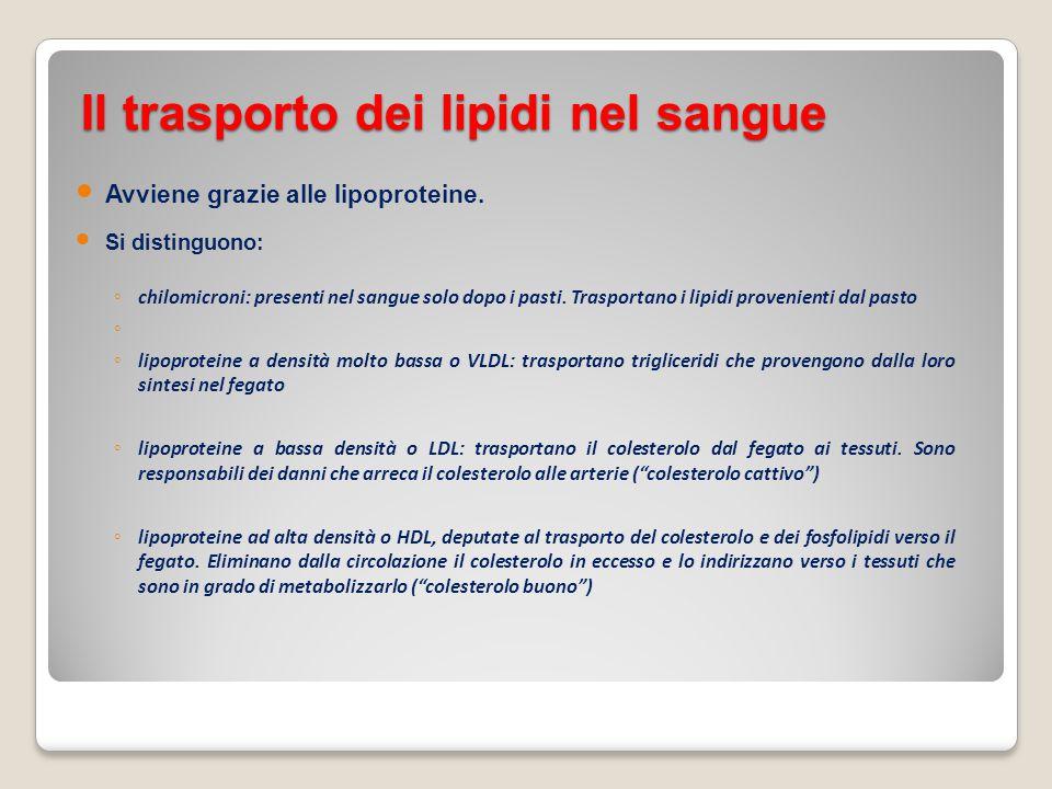 Il trasporto dei lipidi nel sangue Avviene grazie alle lipoproteine. Si distinguono: ◦ chilomicroni: presenti nel sangue solo dopo i pasti. Trasportan