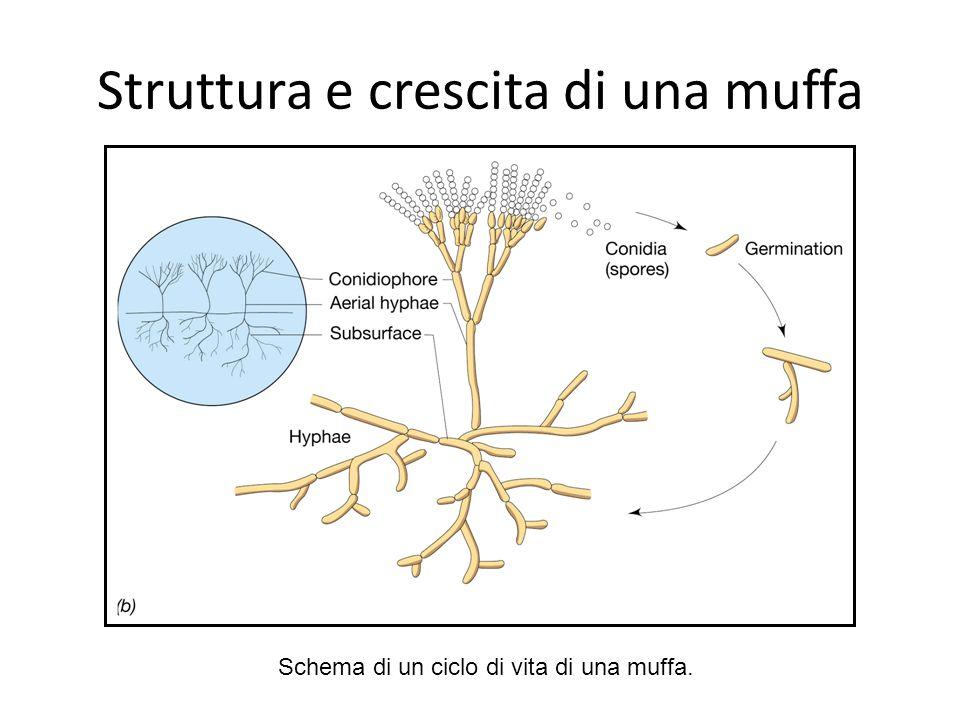 Struttura e crescita di una muffa Schema di un ciclo di vita di una muffa.