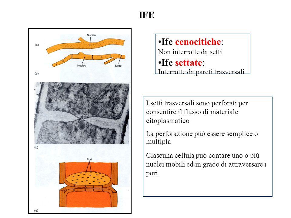 IFE Ife cenocitiche: Non interrotte da setti Ife settate: Interrotte da pareti trasversali I setti trasversali sono perforati per consentire il flusso