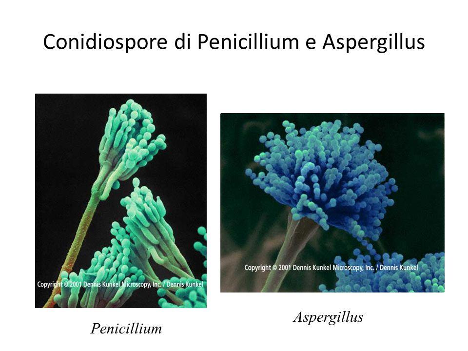 Conidiospore di Penicillium e Aspergillus Aspergillus Penicillium