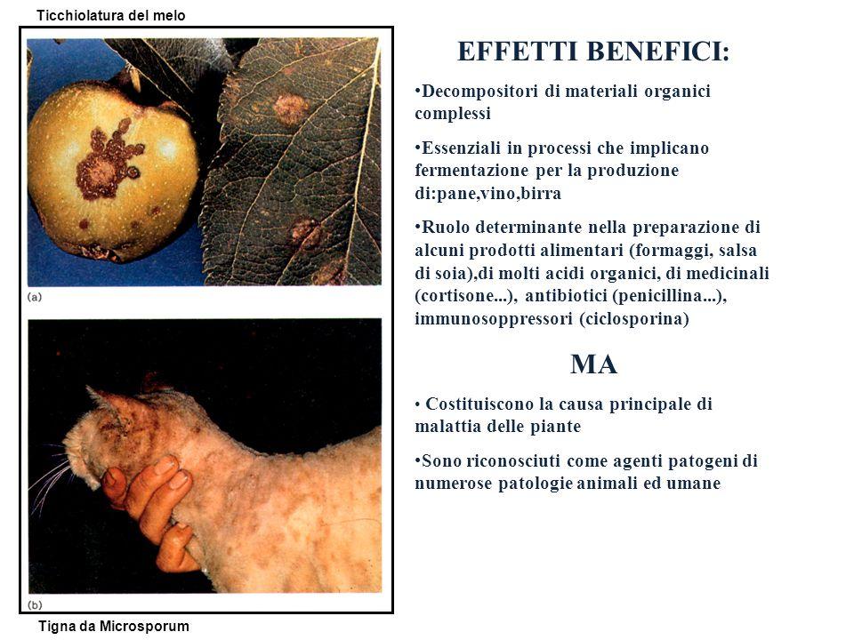 EFFETTI BENEFICI: Decompositori di materiali organici complessi Essenziali in processi che implicano fermentazione per la produzione di:pane,vino,birr