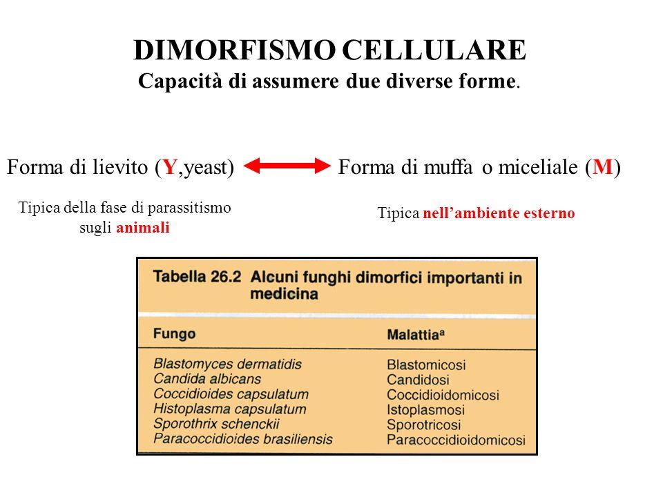 DIMORFISMO CELLULARE Capacità di assumere due diverse forme. Forma di lievito (Y,yeast)Forma di muffa o miceliale (M) Tipica della fase di parassitism