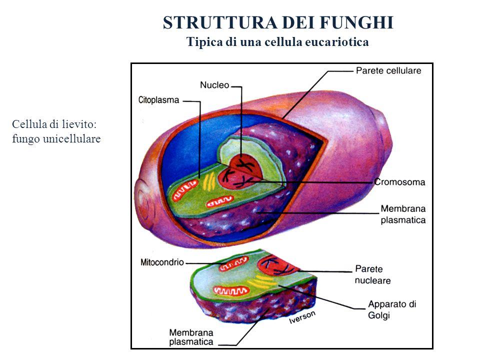 STRUTTURA DEI FUNGHI Tipica di una cellula eucariotica Cellula di lievito: fungo unicellulare