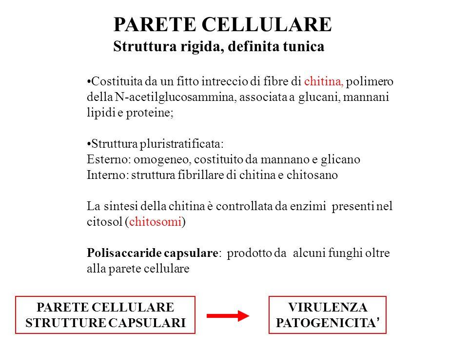 PARETE CELLULARE Struttura rigida, definita tunica Costituita da un fitto intreccio di fibre di chitina, polimero della N-acetilglucosammina, associat